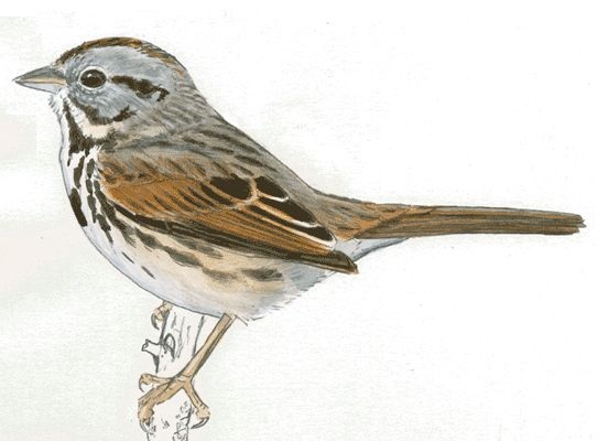 Drawn sparrow color About great 230 website birds!