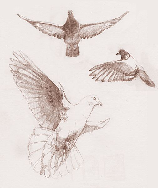 Turtle Dove clipart flight sketch #1