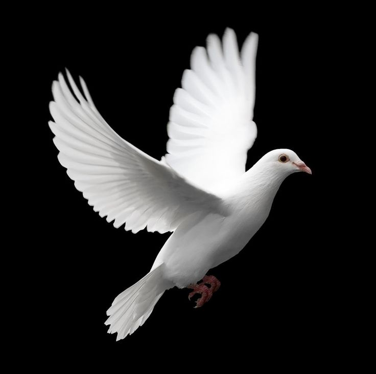 Mourning Dove clipart pigeon flying Dove Pinterest Photo bing ideas
