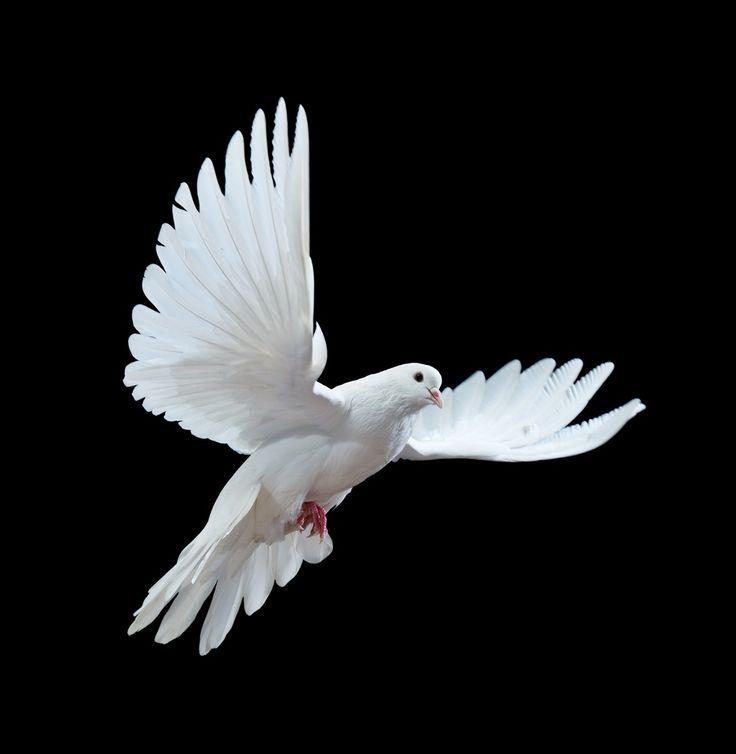 Peace Dove clipart air animal #3