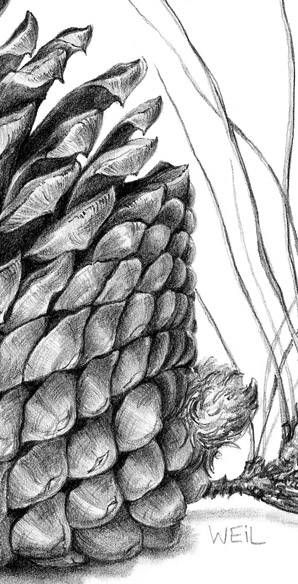 Drawn pine cone Pinecones ideas: 33 Cone Pine