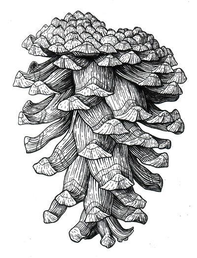 Drawn pine cone Pinterest pine ponderosa best Search