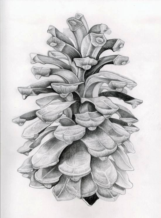 Drawn river life drawing ] Pinterest Cone drawings plants