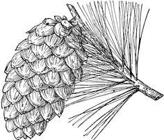 Pine Cone clipart vintage Pinterest Pine Longleaf ClipArt Pine