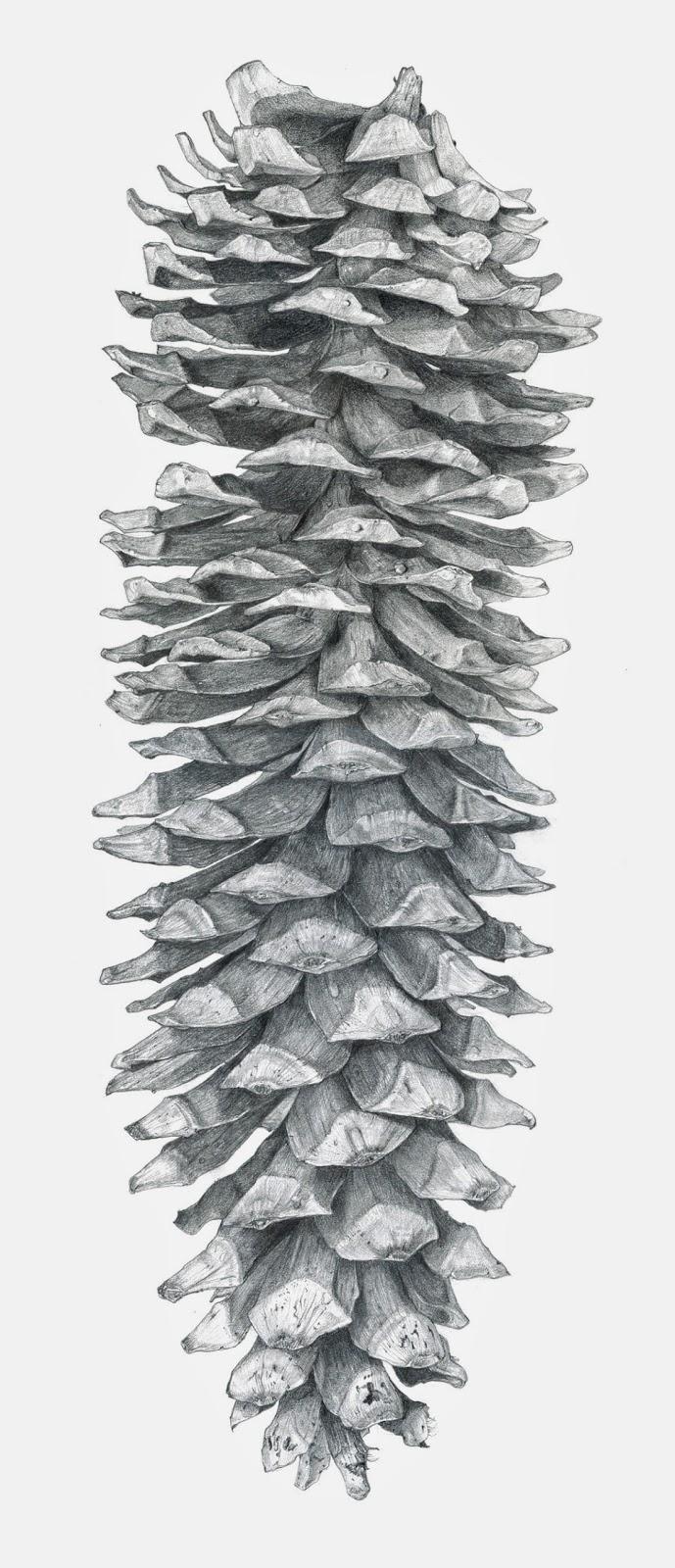 Drawn pine cone Drawing! Sugar Pine Sugar Melling: