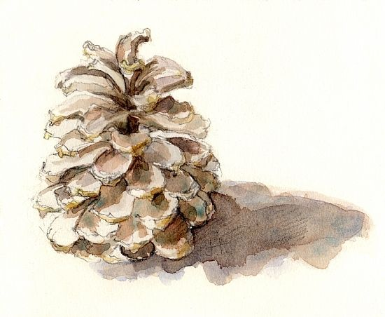 Pine Cone clipart watercolor Best on Search images pine