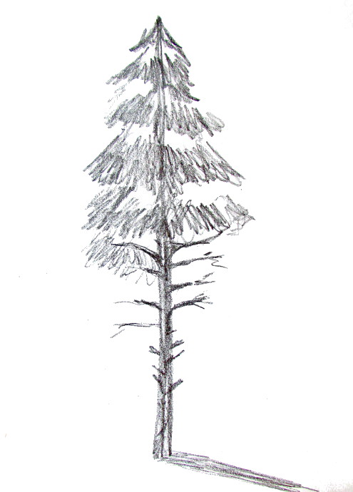 Drawn pine tree #9