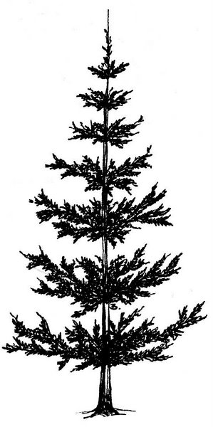 Drawn pine tree #11