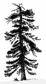 Drawn pine tree huge Ever tree Field Activities The