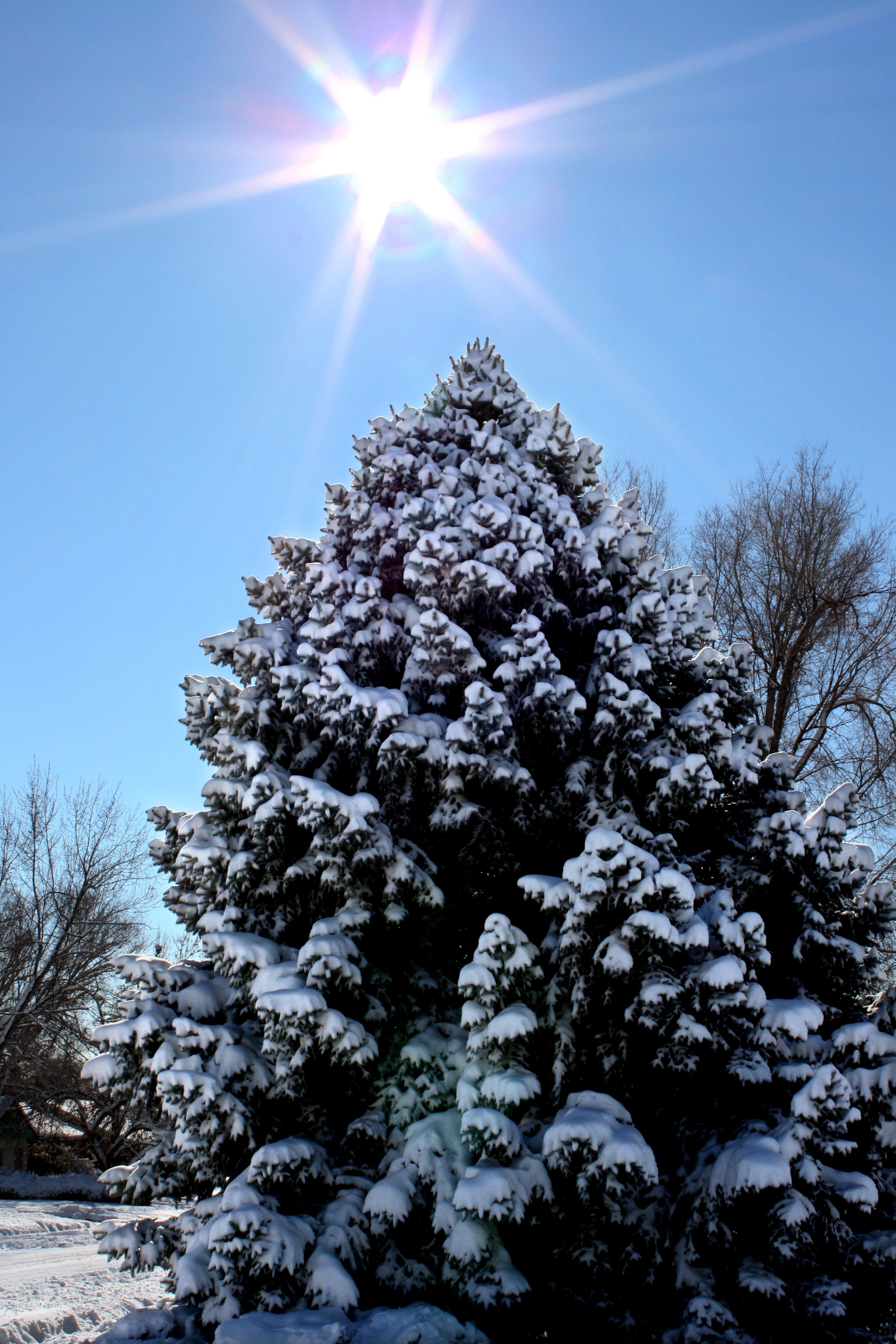 Drawn pine tree snow covered tree Photos Pictures Covered Winter Trees