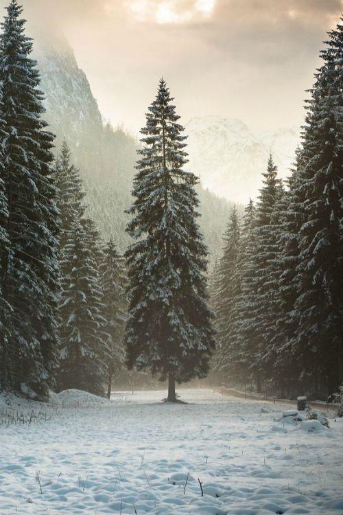 Drawn pine tree winter tree Best on Find Theme) Winter