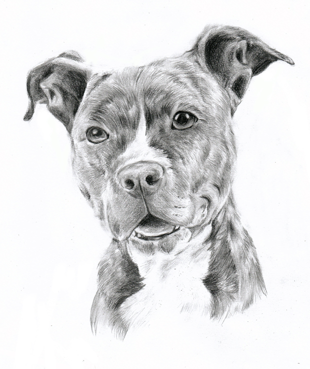 Pitbull clipart sketch Drawing oOChErRyThEbErRyOo art bulls oOChErRyThEbErRyOo