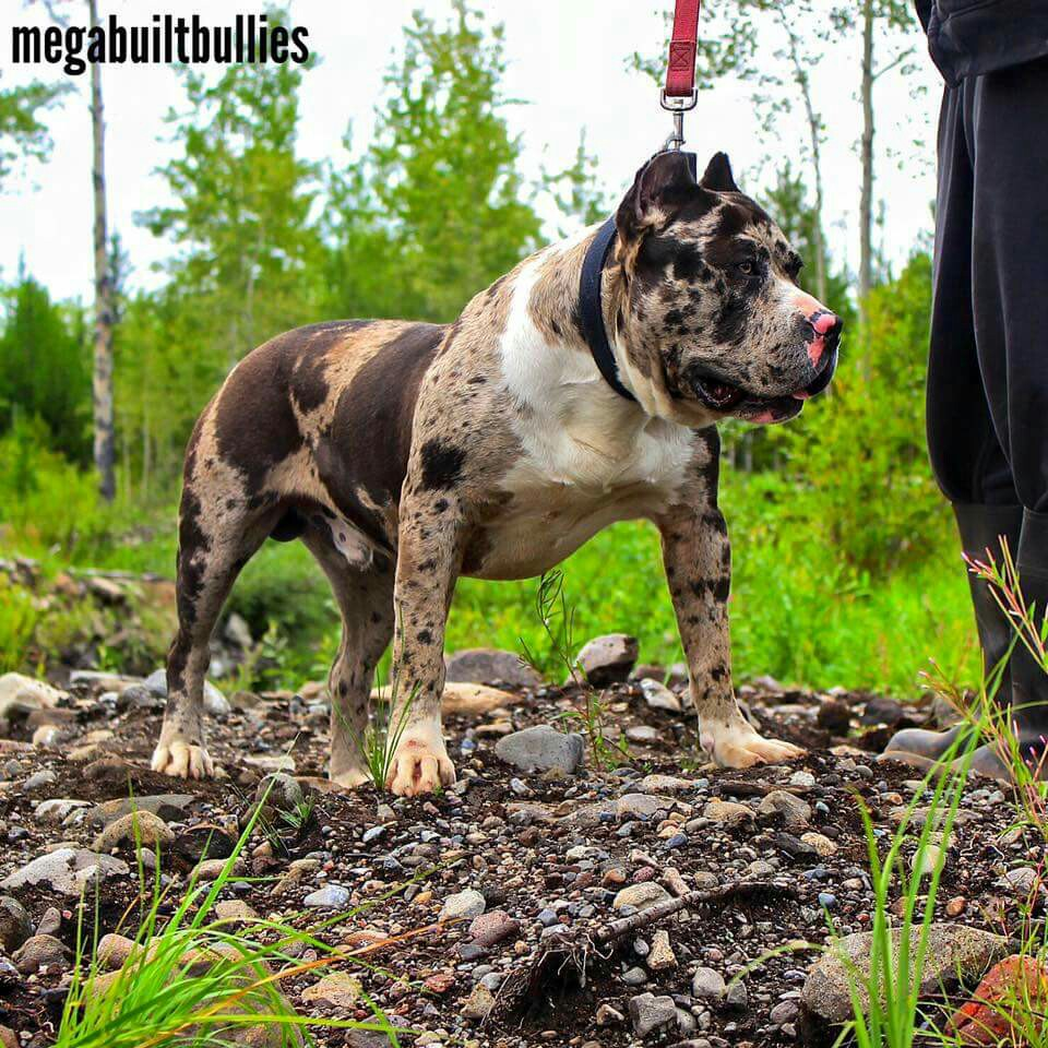 Drawn pit bull american bully Merle on Exotic Outlaw Dog