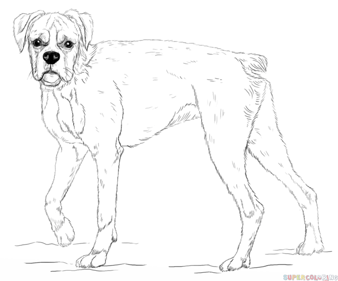Drawn puppy boxer Boxer boxer Step How draw