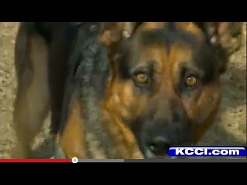 Drawn pit bull german shepherd  Police dog Shepherd attacks