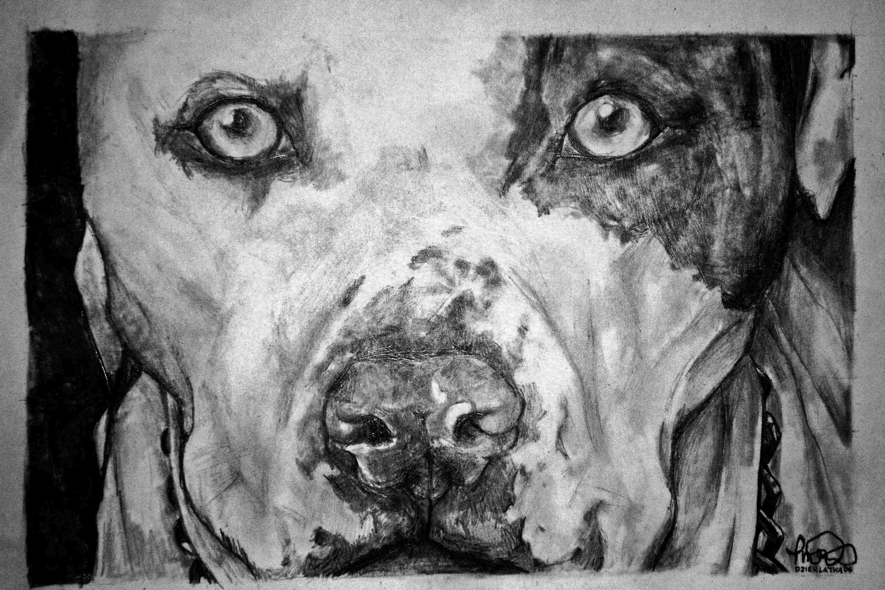 Drawn pitbull pencil drawing In In photo#26 drawing pencil