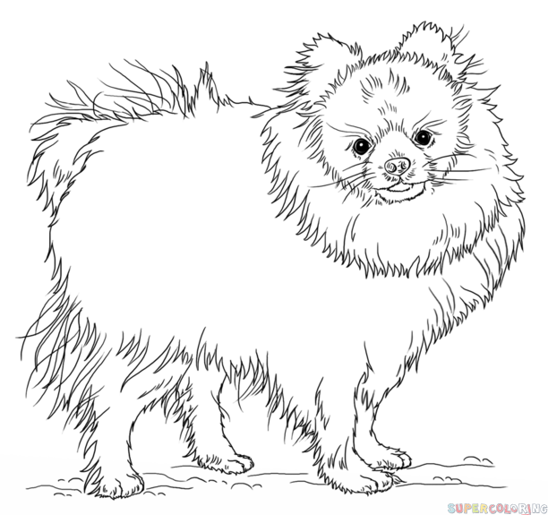 Drawn pit bull pomeranian Step tutorials to pomeranian by