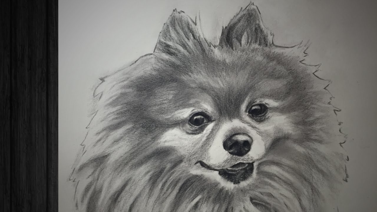 Drawn pit bull pomeranian Drawing Pomeranian Charcoal *Speed Pomeranian