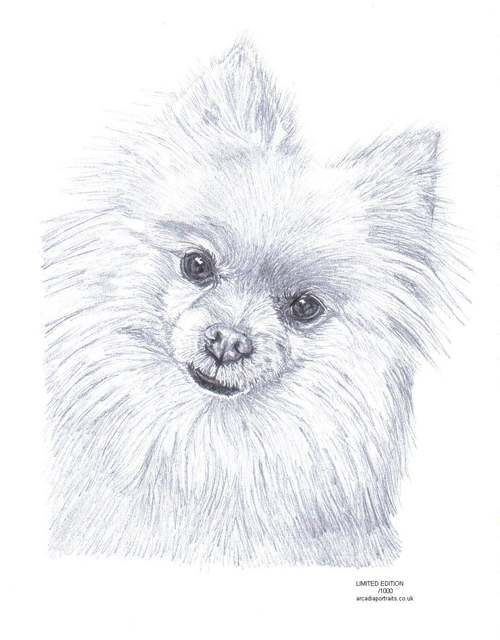 Drawn pit bull pomeranian Images pomeranians pencil Edition Pinterest