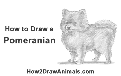 Drawn pit bull pomeranian Dog Draw (Pomeranian) a How
