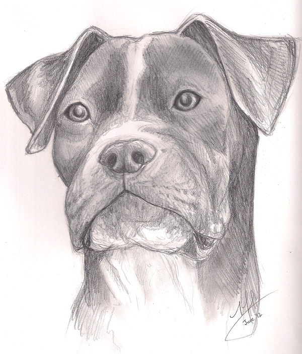 Drawn pitbull pencil drawing Pitbull Sketch lightofunity Pages Canyx