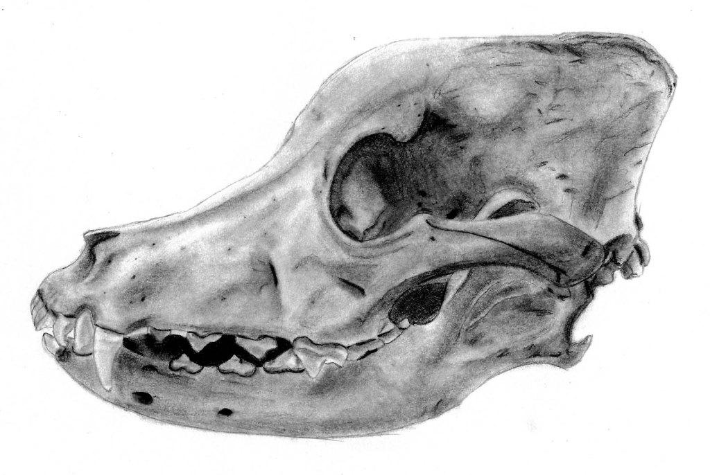 Drawn pit bull skull Skull Pit Skull Christopher Bull