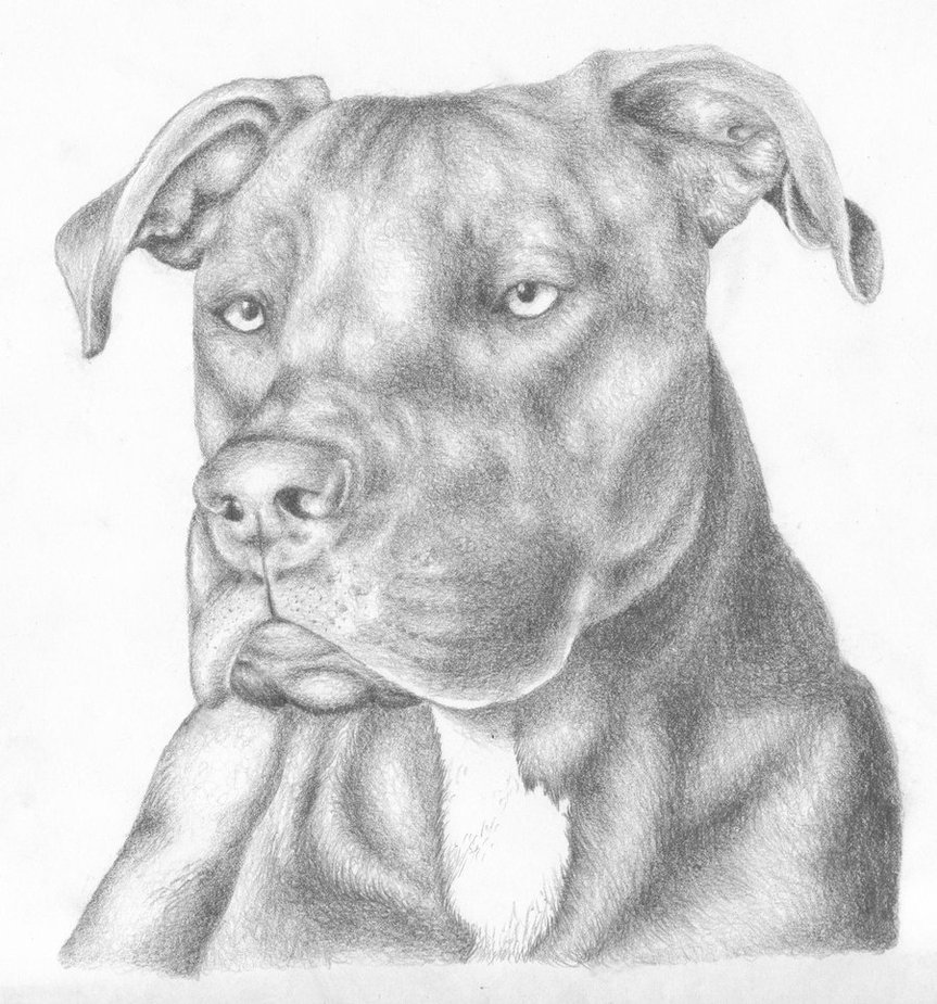Drawn pitbull pencil drawing Pencil the To Atilla bull