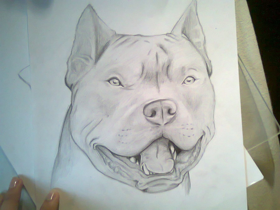Drawn pitbull pencil drawing Pitbull Pitbull How Drawings by