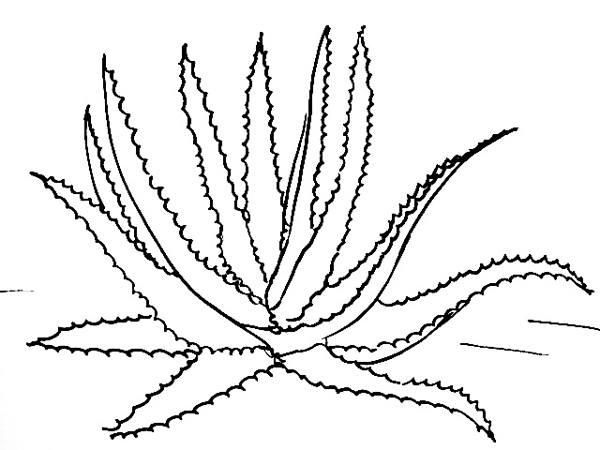 Drawn bush aloe plant How Vera picture Aloe draw