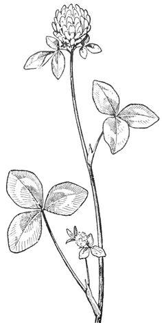 Drawn plant beautiful flower Beautiful a wildflower Clover Drawing