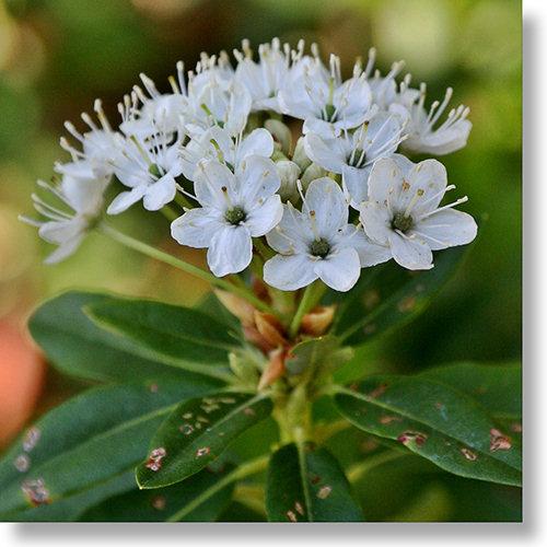 Drawn plant labrador tea Nature's Wild – Plants Plants