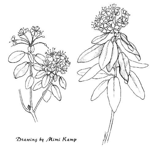 Drawn plant labrador tea Lepechinia jpg X Mimi Plant