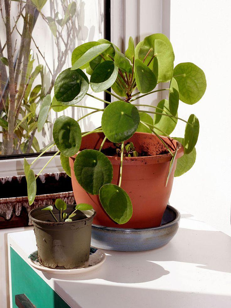 Drawn pot plant money sign Images pilea money about plant