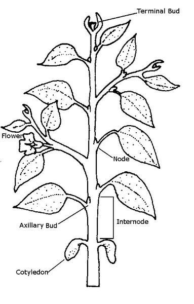 Drawn rose bush three Extension NC 3 State Botany
