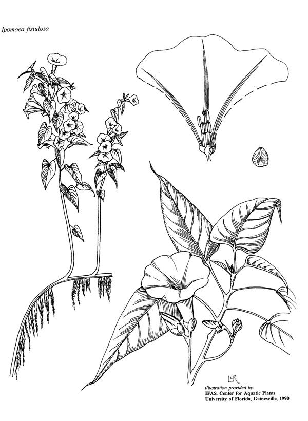 Drawn rainforest rainforest plant Plants Line UF/IFAS Drawings Center