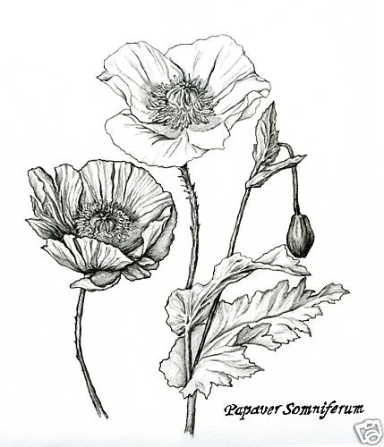Drawn plant realistic More and & Pencil+Flower+Drawings+Of+Poppy+And+Ginger+Nutmeg+Plants Find