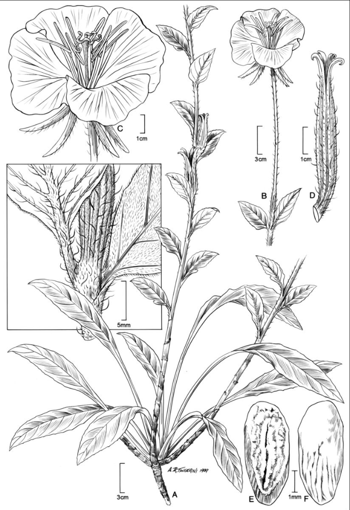 Drawn plant scientific W Plant Press: The Oenothera