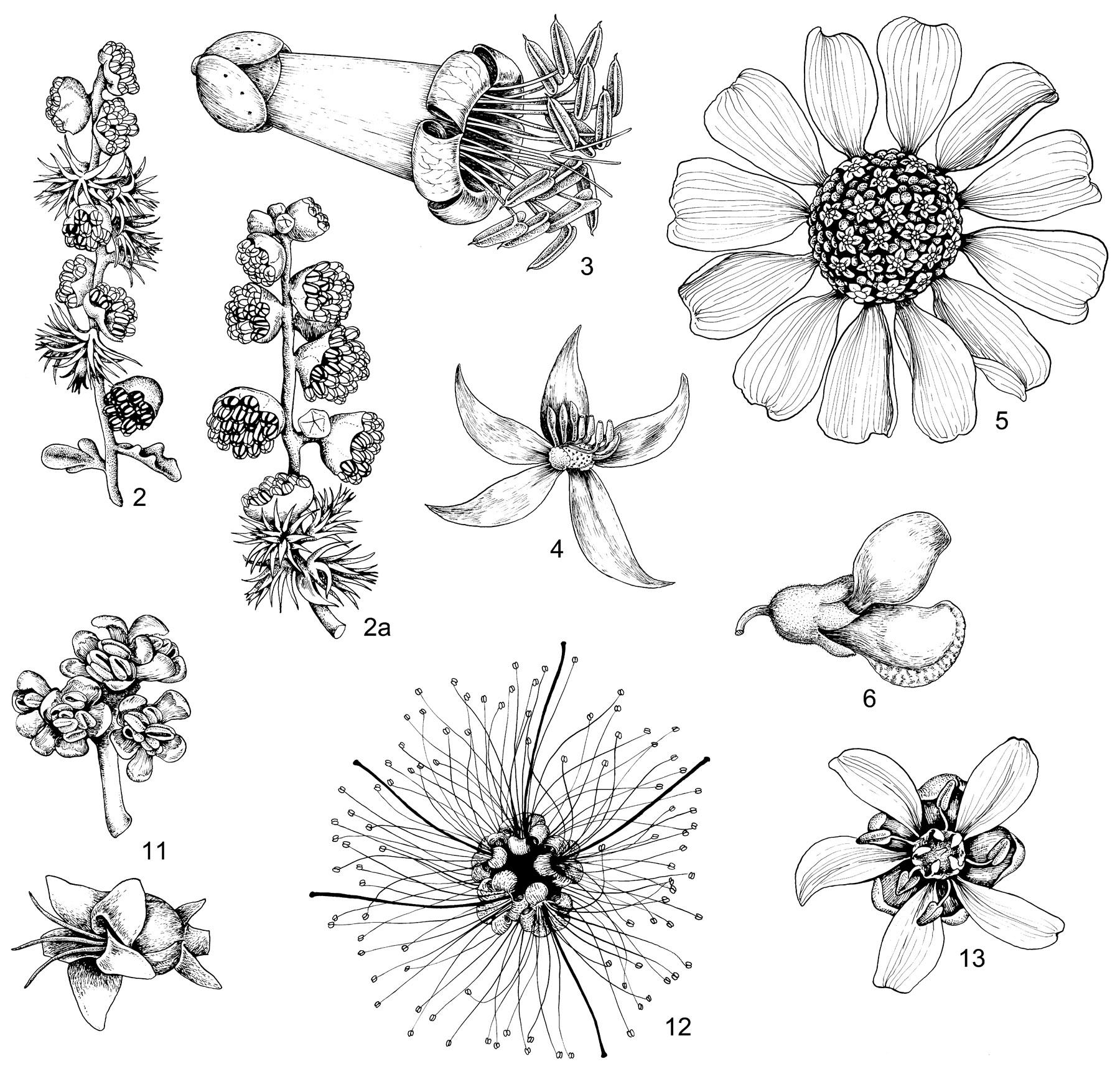 Drawn plant mexican flower Tangerini: Illustrations Perennial Alice Plants