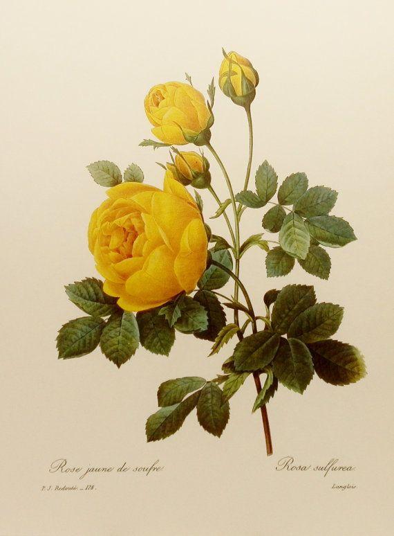 Drawn rose bush botanical illustration Pinterest Best Rose 20+ illustration
