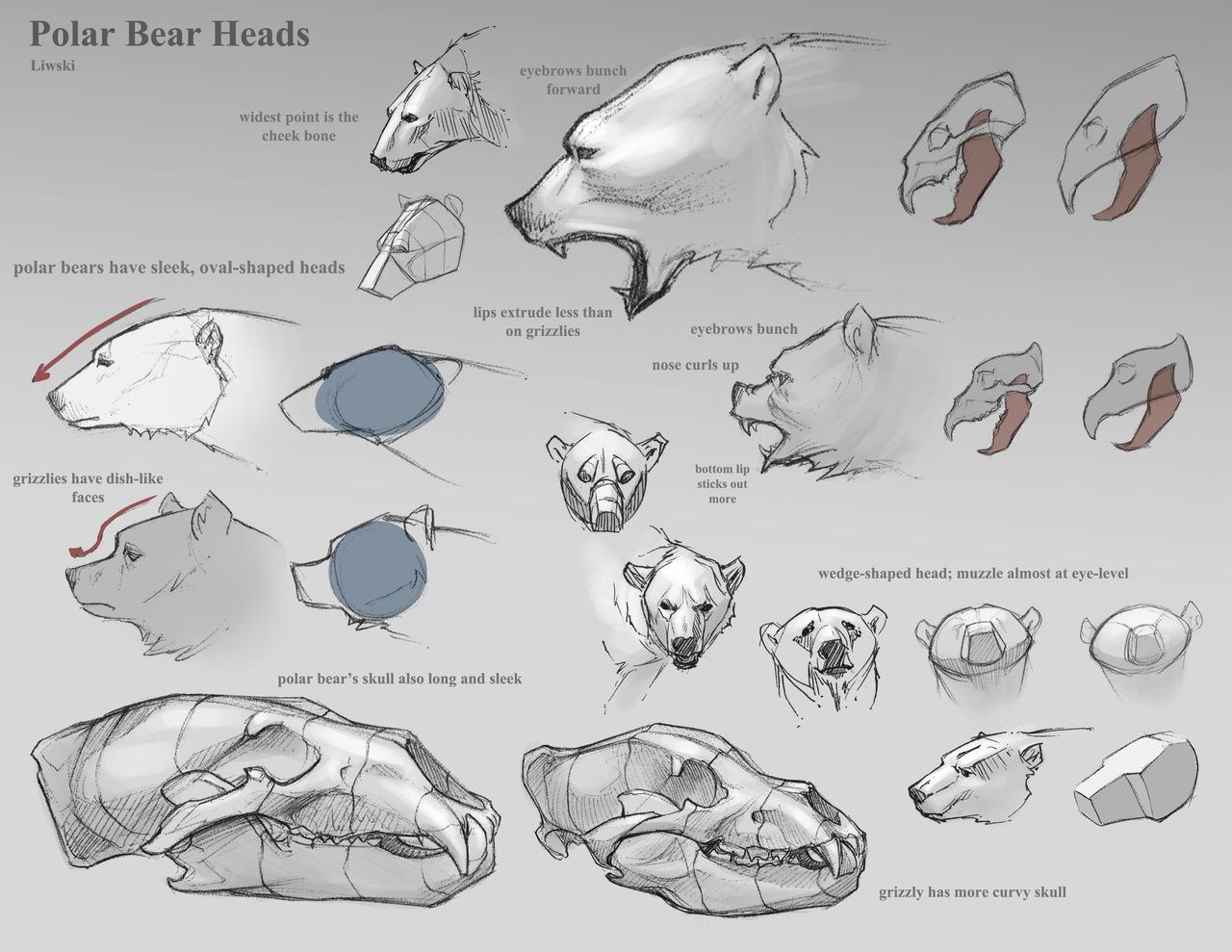Drawn polar  bear anatomy Dope REFERENCES  · Draw