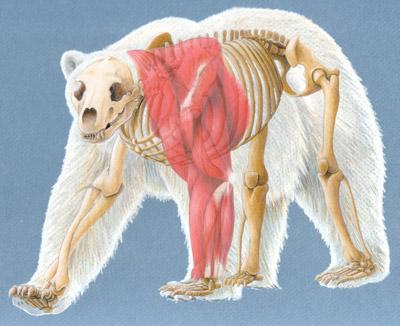 Drawn polar  bear anatomy Bear Anatomical Composite Polar bears
