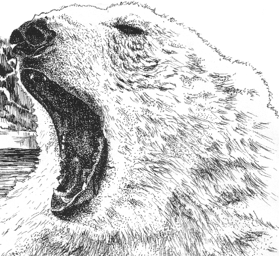 Drawn polar  bear angry Drawing Bear angry Polar photo#8