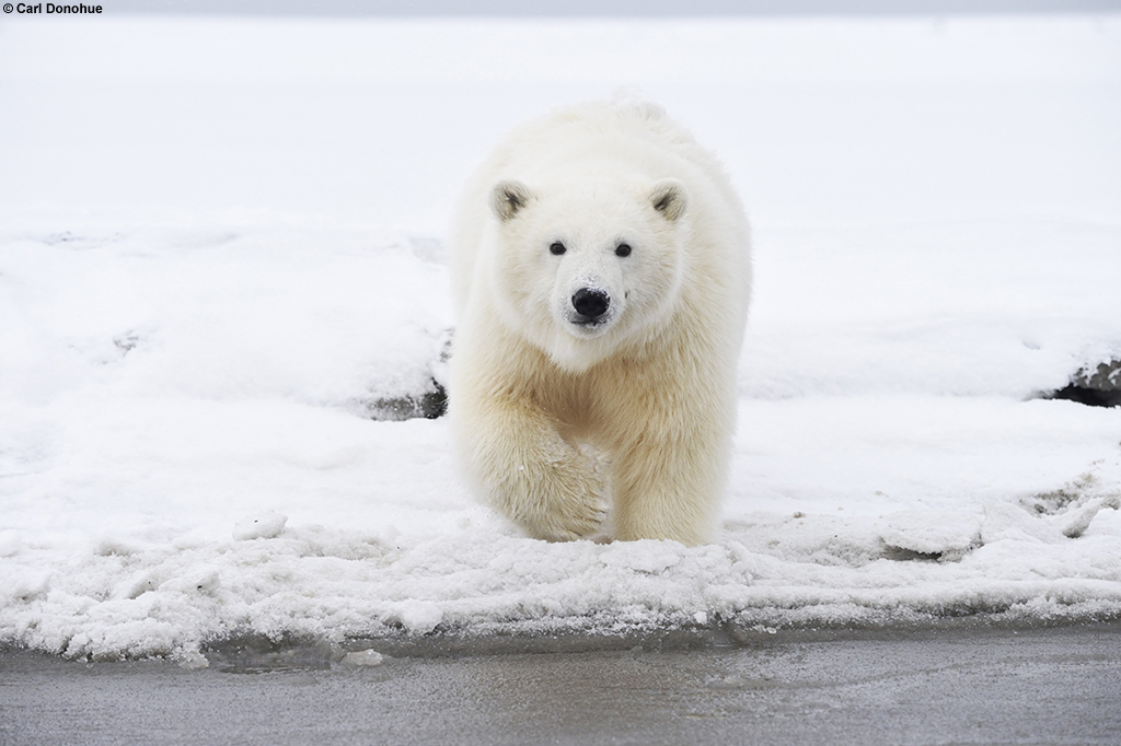 Drawn polar  bear arctic landscape Polar Donohue Bears Life Change