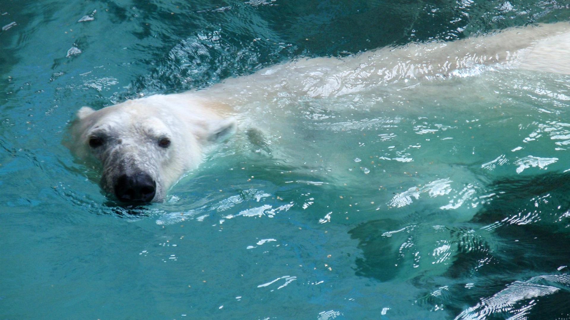 Drawn polar  bear arctic landscape How Arctic  Bears on