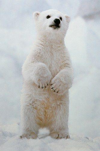 Drawn polar  bear baby animal Heart bear better · Melt
