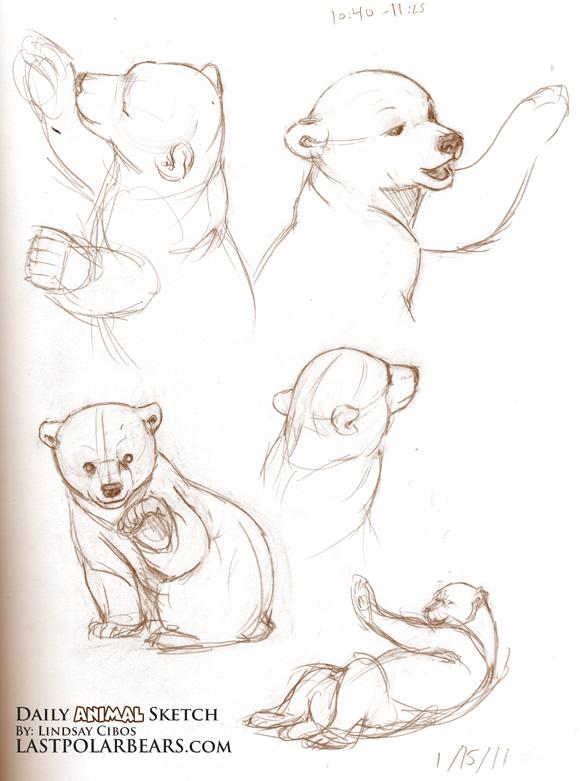 Drawn polar  bear baby animal Sketching Sketch Bear References bears