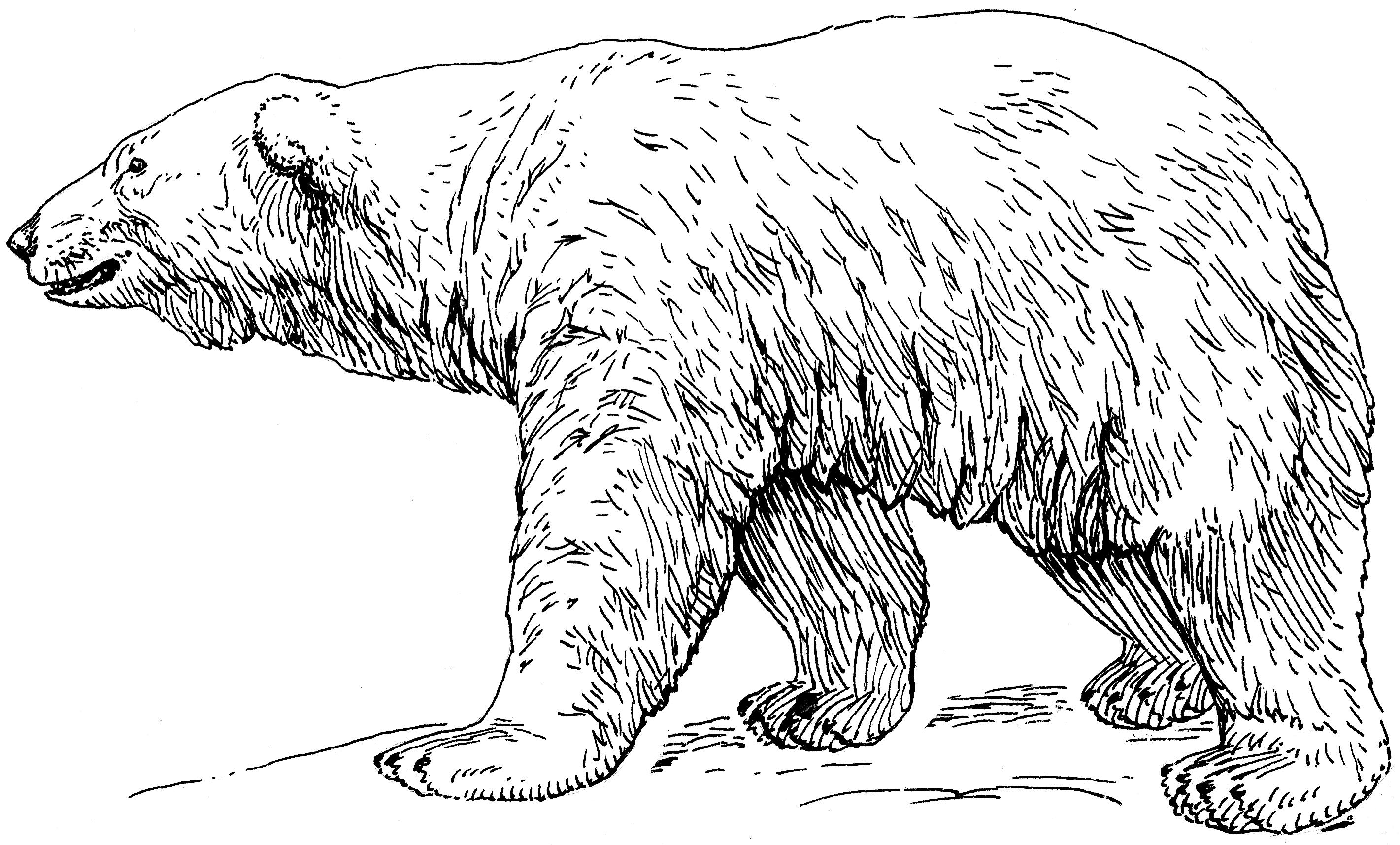 Drawn polar  bear black and white Best Fossil Links Evolution Bears