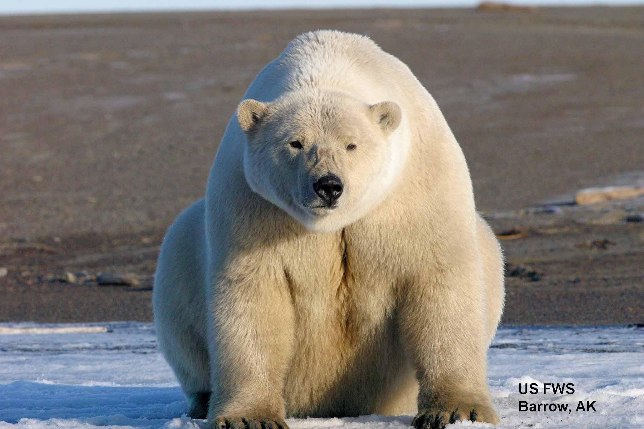Drawn polar  bear cannibal Barrow_labeled cannibalism polarbearscience AK USFWS