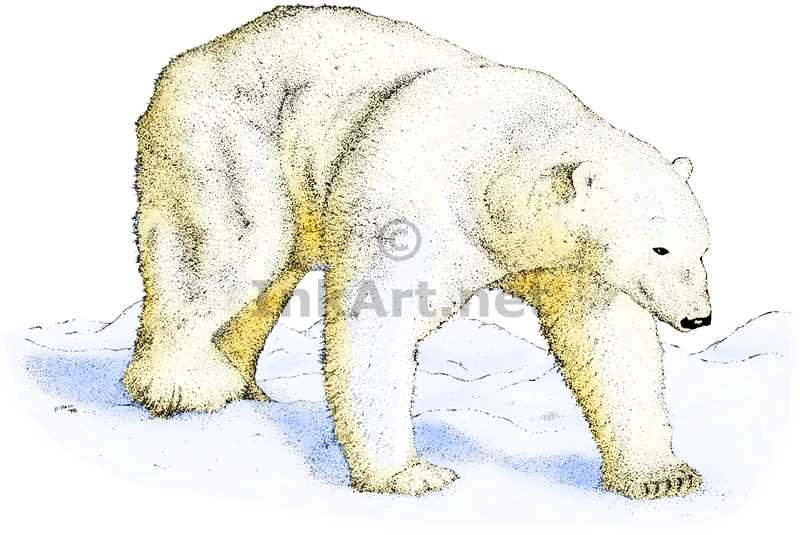 Drawn polar  bear color Art Illustration Polar polar illustration