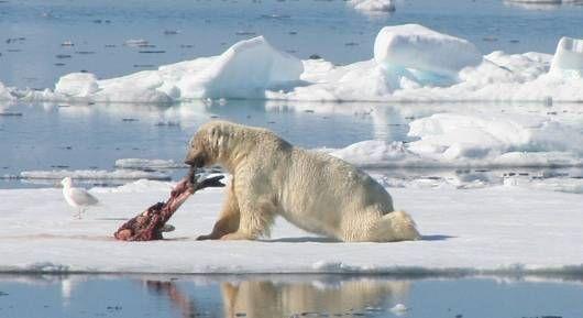 Drawn polar  bear eats How MNN threatened? polar is